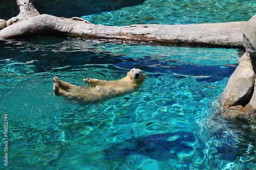 Fotobehang Antarctica 2 Polar bear swimming in blue water
