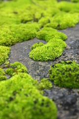 Growth of carpet moss on concrete ground