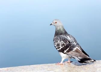 grey pigeon on a wall near the sea