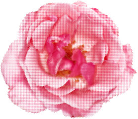 rose silhouette from pink dots isolated on white