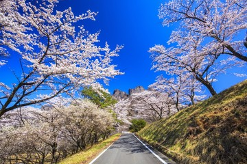 Road through the cherry trees