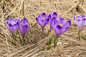 Crocus on a meadow in spring