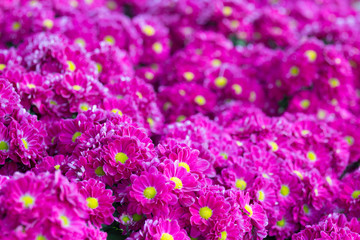 Group of pink Chrysanthemum flower in the garden