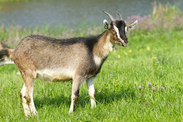 Young goat pasture