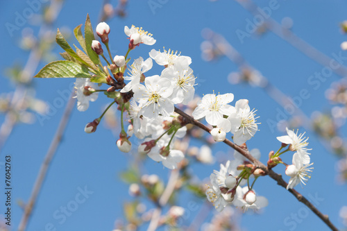 canvas print picture Flowering Cherry Tree