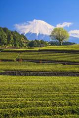 Japanese green tea plantation and Mt. Fuji