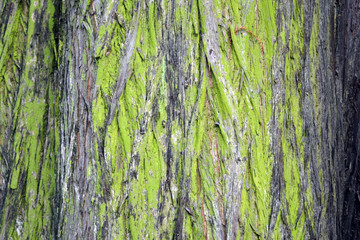 A grunge looking texture of a moss covered tree bark.
