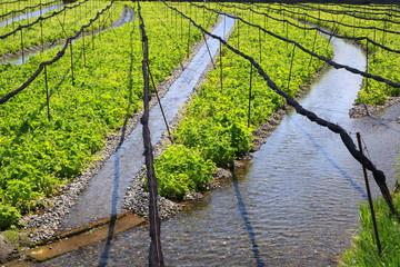 Wasabi farm, Azumino, Nagano