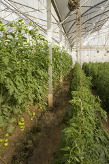 large greenhouse for growing tomatoes
