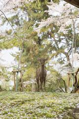 Deer in Nara Park during cherry blossom season