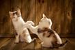 canvas print picture - Katzen spielen