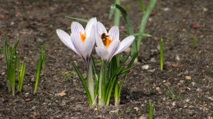 Bee in a crocus flower