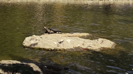 Turtle on a rock in a pond in the afternoon.
