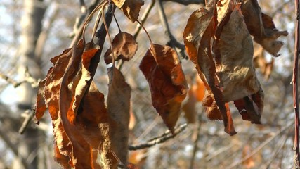 Dry leaves on a branch