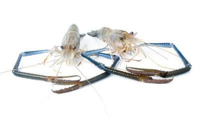 Fresh shrimp on a white background.