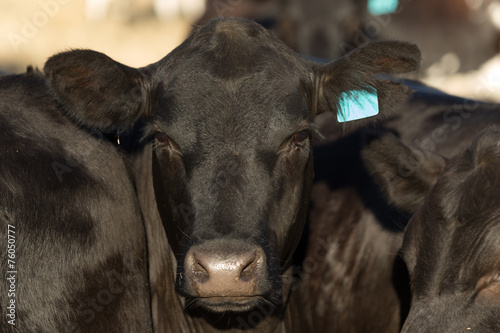 In de dag Koe Black Angus Cow