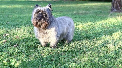 Cairn terrier, chien