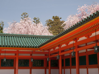京都 平安神宮の桜