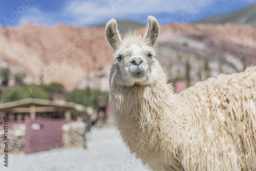 Aluminium Lama Llama in Purmamarca, Jujuy, Argentina.