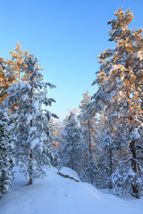 Snowy forest and warm sunlight
