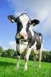 Holstein-Friesian Milchkuh auf  der Sommerweide