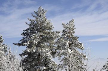 black Pine