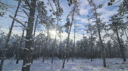 Sun shining between the trees in winter forest