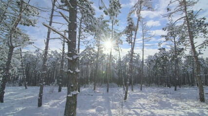 Sun shining through the pine trees in winter forest tilt shot