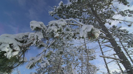 Snow covered pine trees in winter forest pan shot