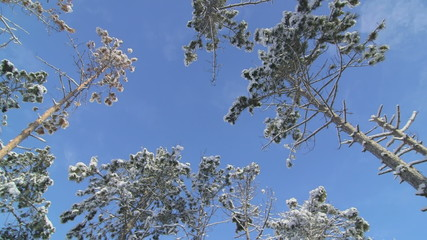 Pine trees trunks snow covered against blue sky in winter forest