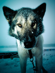 Muzzle dog with a large black wet nose. Close. Shallow depth of