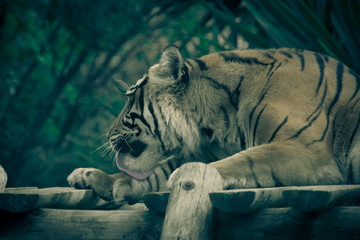 Amur tiger lying on a platform of planks. Toned