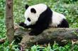 Panda bear cub playing Sichuan China