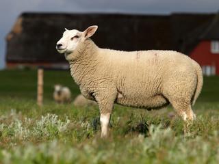 Schaf auf Hallig