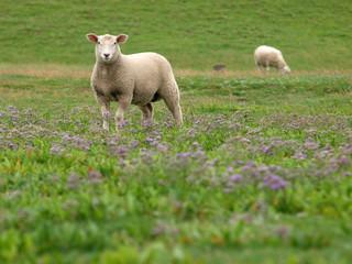 Schafe im Strandflieder