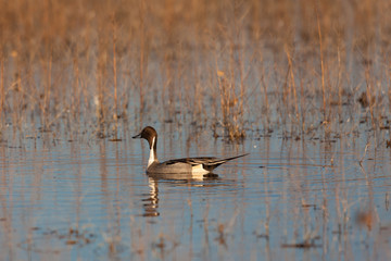 Drake Pintail Duck