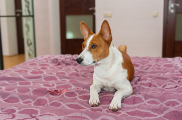 Basenji dog is lying on the bed-spread