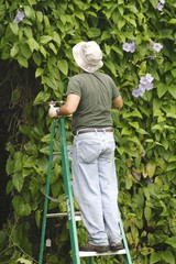 Man pruning - Bengal Creeper Vine