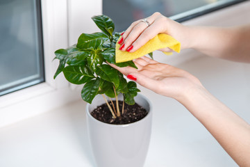 woman wiping cloth house plant