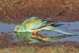 Mulga parrot drinking.