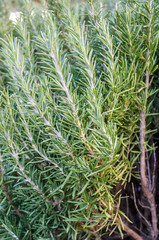 closeup of a rosemary plant