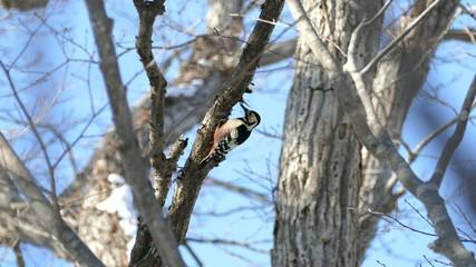 冬の野鳥・オオアカゲラ_4_4K撮影