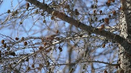 冬の野鳥・マヒワ_ハイスピード撮影
