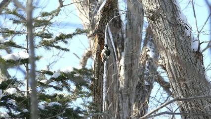 冬の野鳥・オオアカゲラ_3_ハイスピード撮影
