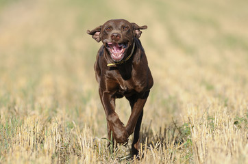 German Shorthaired Pointer running