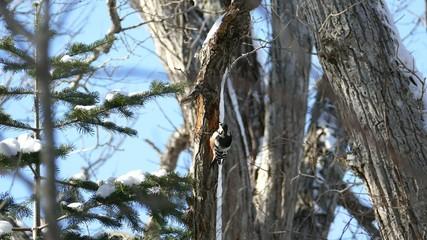 冬の野鳥・オオアカゲラ_2_4K撮影