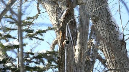 冬の野鳥・オオアカゲラ_1_ハイスピード撮影