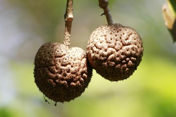 Nauclea orientalis tree - fruit