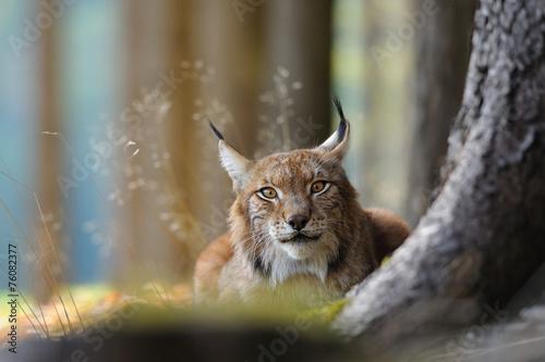 Canvas Lynx Eurasian lynx