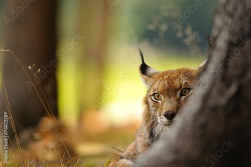 Staande foto Lynx Eurasian lynx